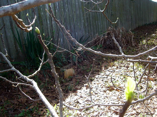 Fig Tree Starting to Bud