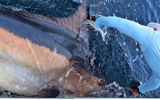 August 2017 - Marlin, Tuna, Roosters, and Good Times! -