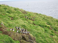 Isle of May Puffins