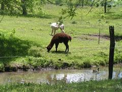alpacasnmallards