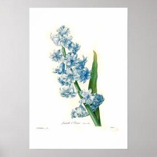 Blue Hyacinth Poster