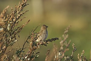 English: Common Rosefinch (Carpodacus erythrin...