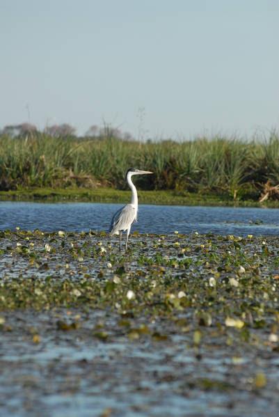 Aves en los Esteros del Iberá.