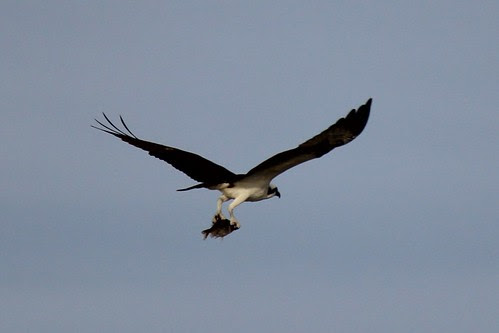 IMG_3711a_Osprey_with_Fish