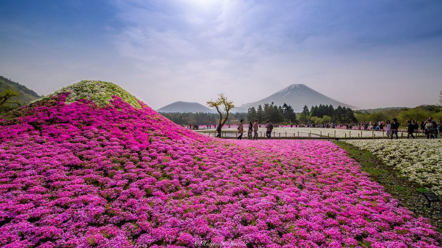 fotografia-flores-nemophila-japon-hidenobu-suzuki (7)