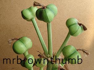 Amaryllis Seed Pods