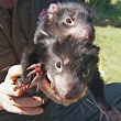 Devils released on disease-free island - ABC News (Australian Broadcasting Corporation)