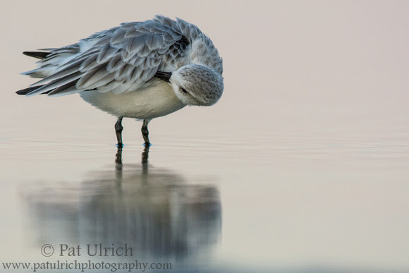 Sanderling preening in pastel light at Parker River National Wildlife Refuge
