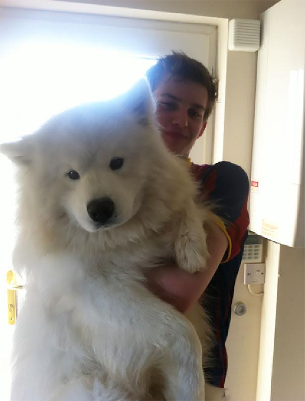 24.Samoed size dog