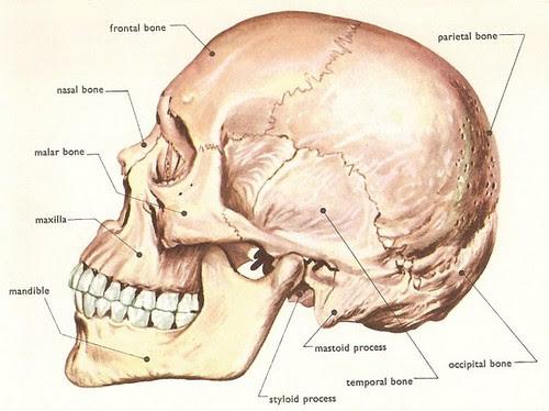 human_skull_side