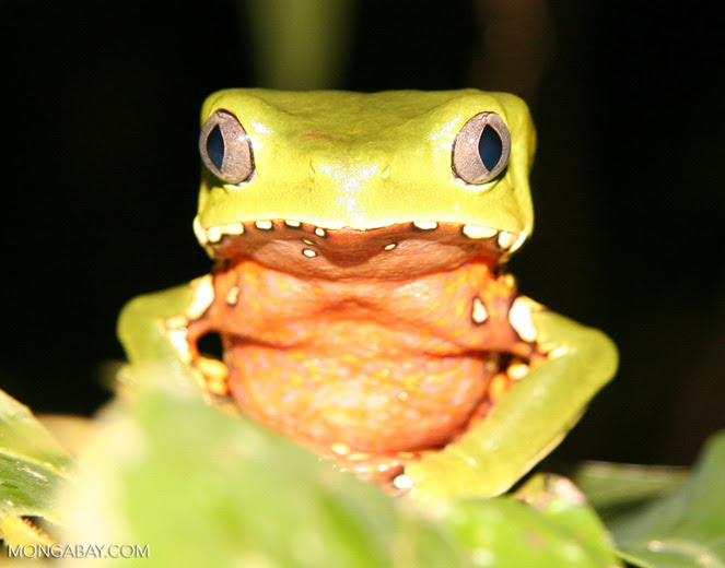 The giant monkey frog is found in the park. Photo by Rhett A. Butler.