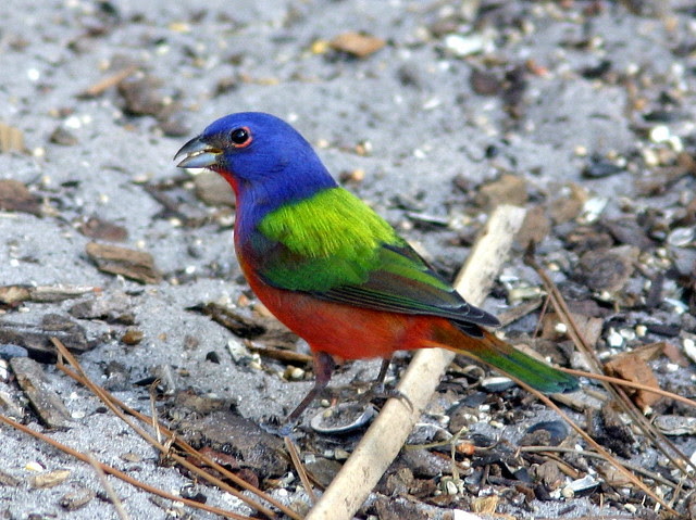 Male Painted Bunting 20090225