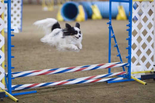 Working agility at a distance based on handler' body language.