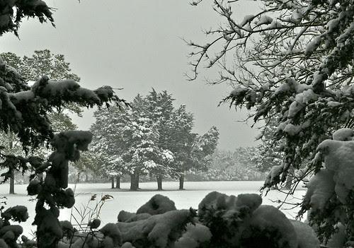Snow on Cedars (4)