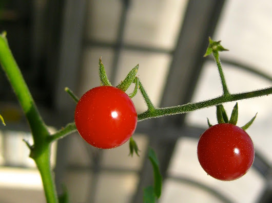 On Darwin's birthday, tomato genetics study sheds light on plant evolution