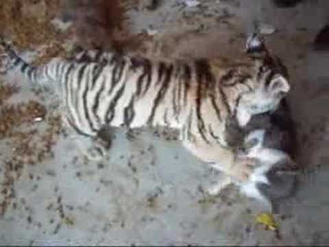 Tiger cub playing with a house cat!