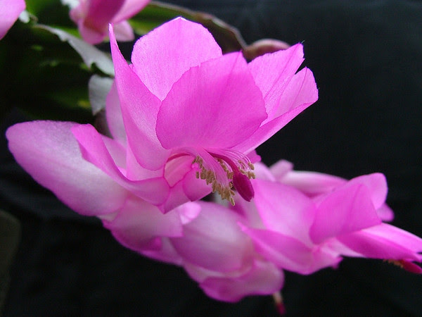 October Christmas Cactus