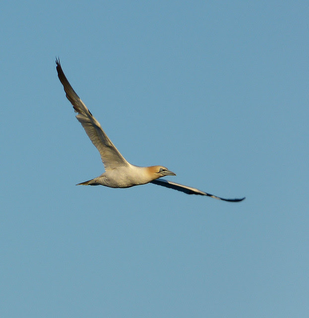 27598 - Gannet off Tears Point, Gower