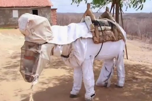 World's first beekeeping DONKEY gets his own custom suit in Brazil