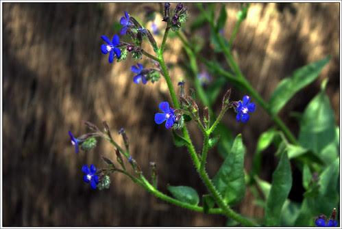 de la belleza de las flores azules