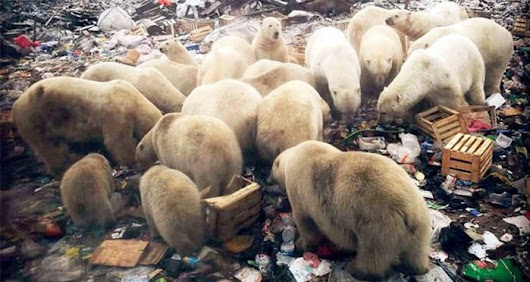 Polar Bears Are Terrorizing A Russian Town After Climate Change Destroys Their Habitat
