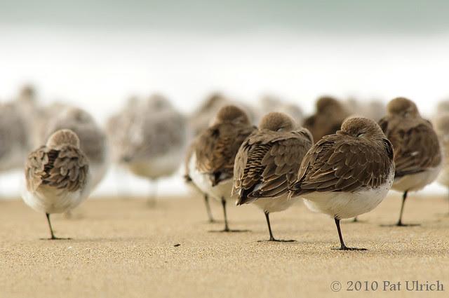Resting shorebirds, Point Reyes National Seashore - Pat Ulrich Wildlife Photography
