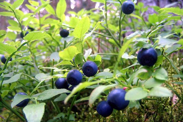 Сбор ягод, когда собирать ягоды, полезные свойства ягод, правила сбора ягод, ягодный календарь, календарь сбора ягод, полезные свойства черники, когда собирать чернику