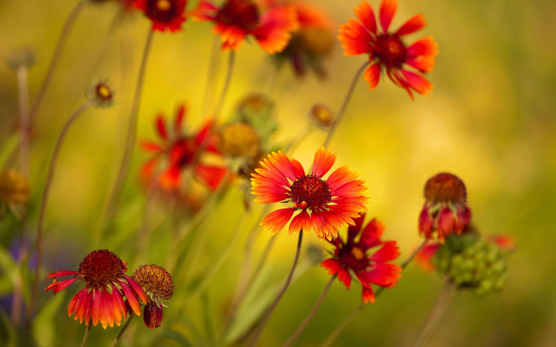 Red sunflowers HD wallpaper | HD Latest Wallpapers