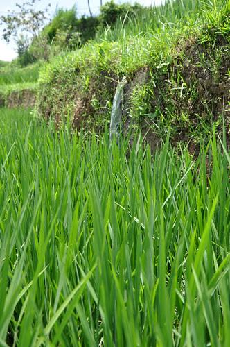 IrrigationntheRiceTerraces