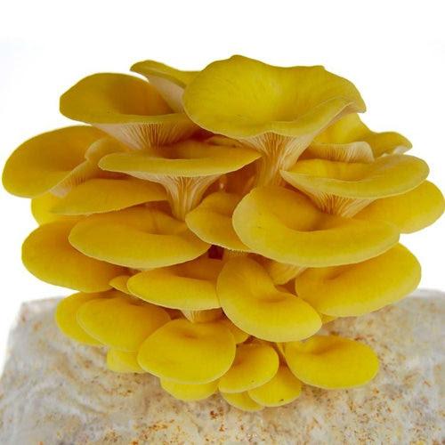 Yellow Oyster Mushroom Seed Supply In Wakad, Pune