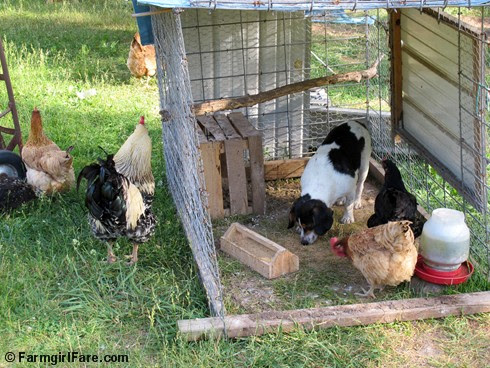 Chicken Bert 5 - FarmgirlFare.com