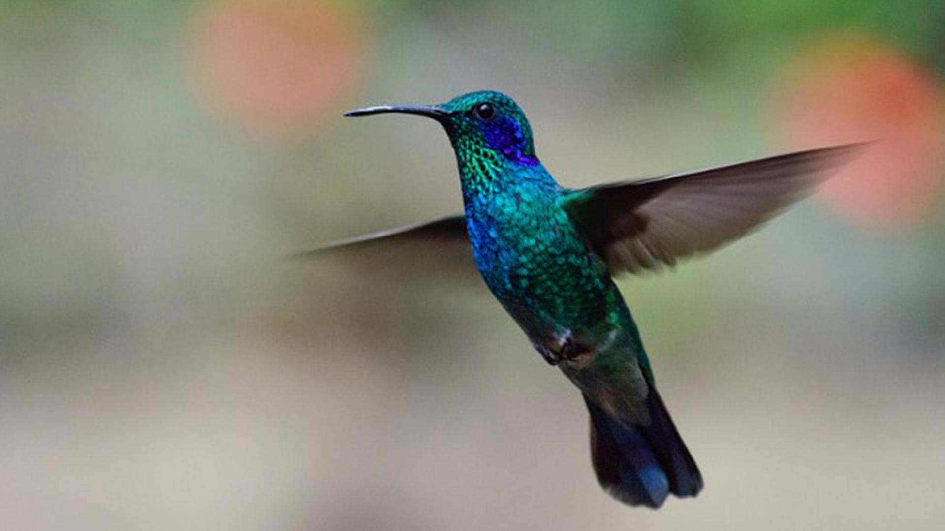 Bird - Hummingbird(1920×1080)