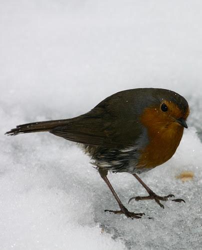 Robin by Dougie m