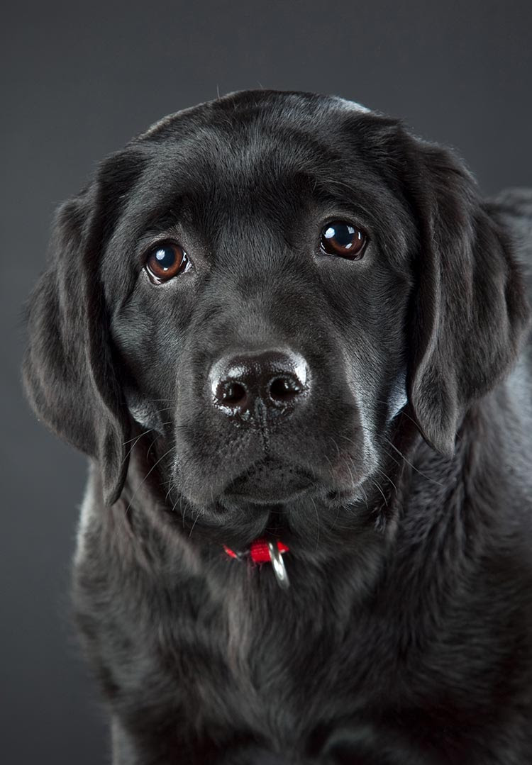Black Lab Puppies for sale in Idaho USA