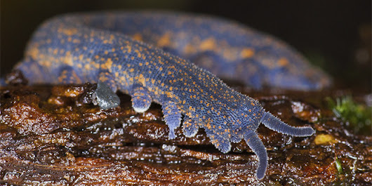 The Creature Feature: 10 Fun Facts About Velvet Worms | Science Blogs | WIRED
