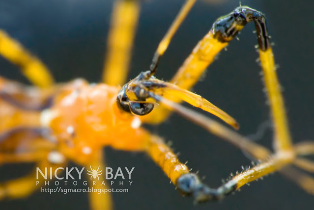 Assassin Bug (Reduviidae) - DSC_9664