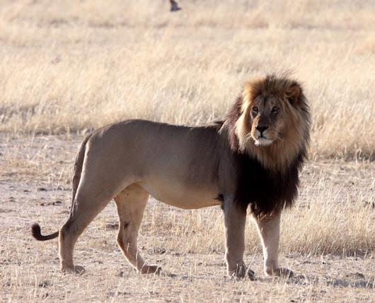 Akagera National Park Receives Seven Lions