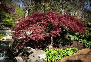 Red Select Japanese Maple Tree Garden Ideas T
