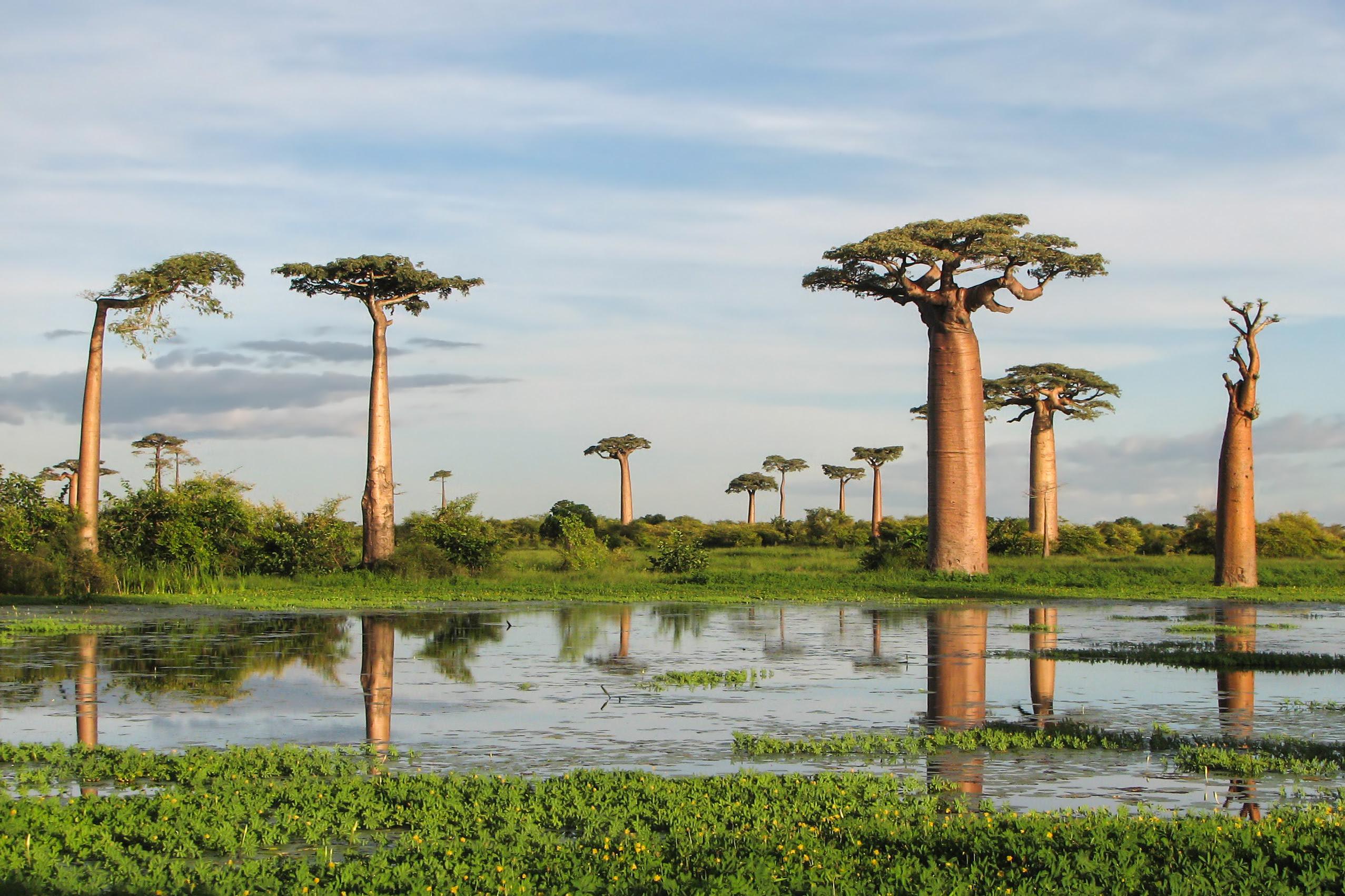 Adansonia grandidieri03 Baobab   The Upside Down Tree [25 Pics]