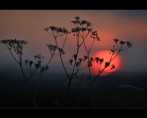 Cow Parsley by Mike Bolam