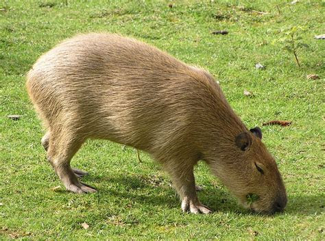 Capybara « Big Animals