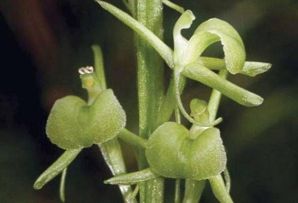 La nuova specie di orchidea Liparis loeselii subspecie nemoralis (fonte: Museo Civico di Rovereto)