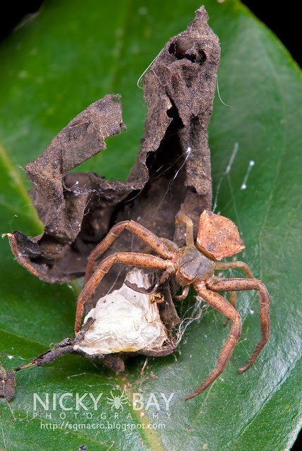 Crab Spider (Thomisidae) - DSC_6021