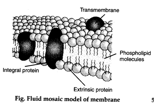 Who proposed the fluid mosaic model of plasma membrane? - CBSE Class 11 Biology - Learn CBSE Forum