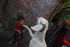 Marziya I Will Shake Your Hand For The Biscuits You Gave Me Says The Goat by firoze shakir photographerno1