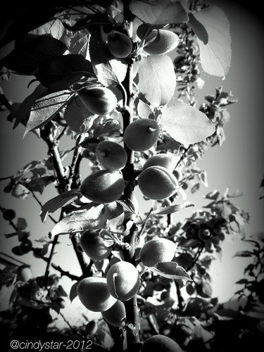 albicocche-apricots