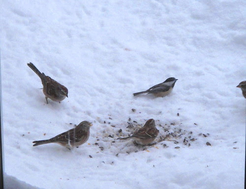 Tree Sparrows and a Chick-a--Dee in the snow.