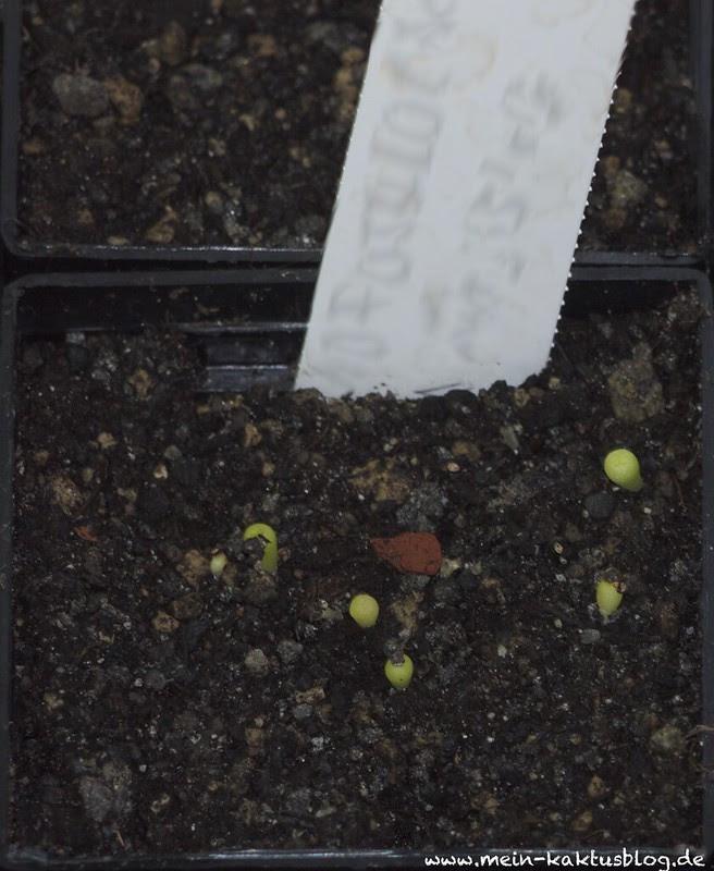 Echinofossulocactus anfractuosus