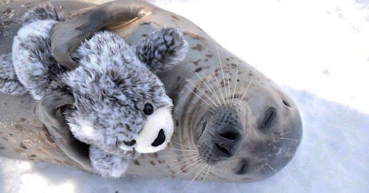 Smitten seal can't hide its smiles as it cuddles and plays with lookalike soft toy