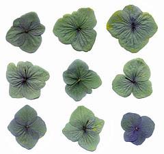 Pressed hydrangea petals